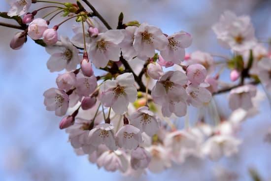 第51回「文化から学ぶ韓国語」~美しい桜の中でお花見~07