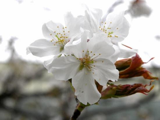 第72回「文化から学ぶ韓国語」-お花見01